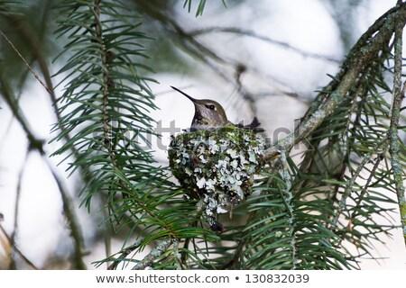 annas hummingbird nest stock photo © devon