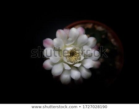 Kaktusz tövis közelkép kilátás virág textúra Stock fotó © azamshah72