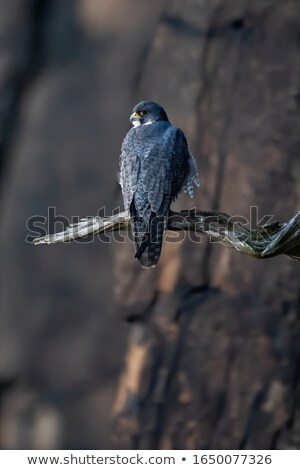 Vogel buit natuur Canada witte achtergrond Stockfoto © devon