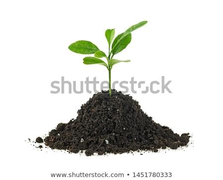 Green plant of citrus in a mound of ground Stock photo © boroda