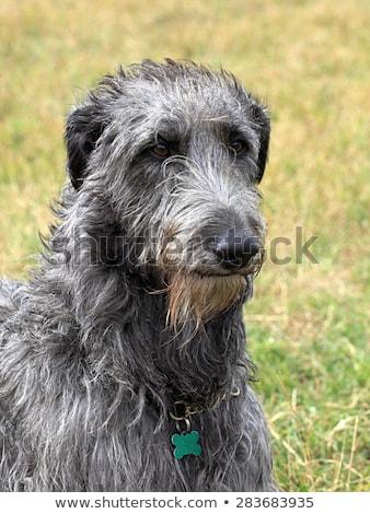 detail of old irish wolfhound dog stock photo © capturelight