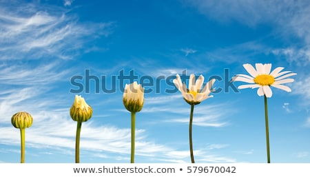 Blooming daisies Stock photo © simply