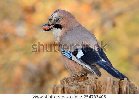 Jay with a nut on a tree in the forest Stock photo © artfotoss