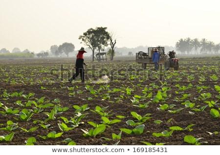 young tobacco plants Stock photo © prill