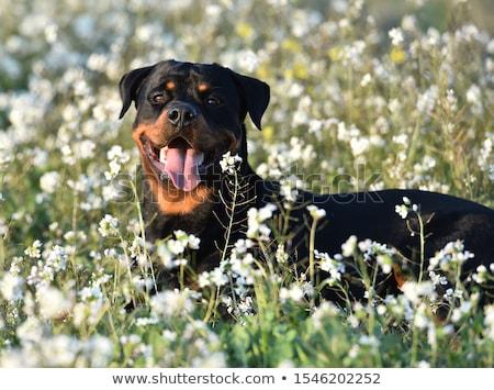 Rottweiler virág fehér szeretet díszállat aranyos Stock fotó © cynoclub