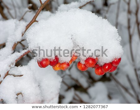 Ripe apple covered with snow Stock photo © manfredxy