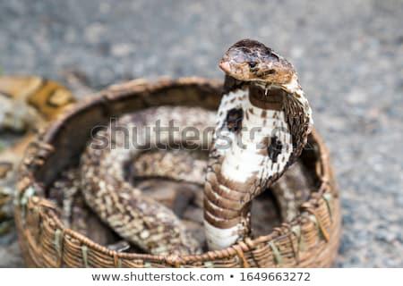 króla · kobra · wektora · projektu · malarstwo · węża - zdjęcia stock © bluering