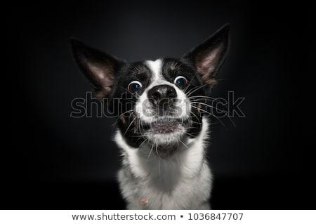 Mixed breed black dog portrait in white studio Stock photo © vauvau