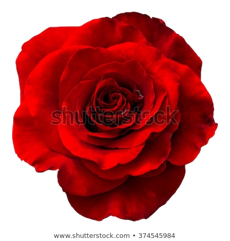 Rood rose druppels dauw geïsoleerd zwarte Stockfoto © Valeriy