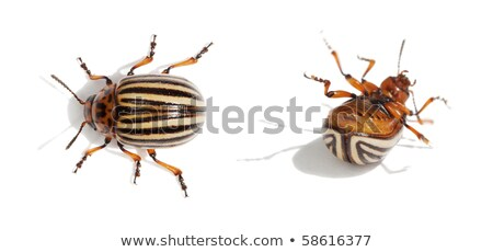 Dead colorado potato beetle close-up Stock photo © digitalr