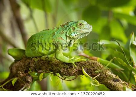 イグアナ · は虫類 · 動物 · 自然 · 野生動物 · 緑 - ストックフォト © oleksandro