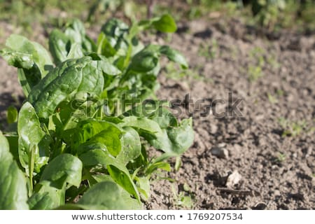 Young leaves of spinach.Sprouts spinach growing in garden. Green shoots. Young greens for salad Stock photo © Virgin
