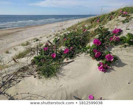 Plaj gül beyaz ahşap doğa Stok fotoğraf © bdspn
