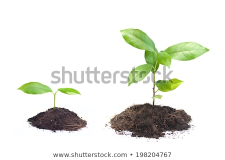 Planting a small plant on pile of soil Stock photo © OleksandrO