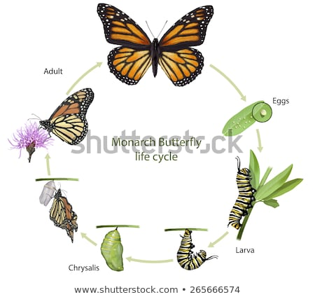 бабочка жизни цикл Cute красочный иллюстрация Сток-фото © lenm