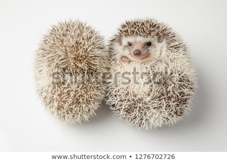 two adorable white hedgehog lying on belly and back stock photo © feedough