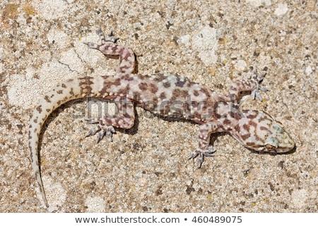 Stockfoto: Hemidactylus Turcicus Or Mediterranean House Gecko