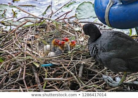 カモ · 巣 · 9 · 鳥 - ストックフォト © pictureguy