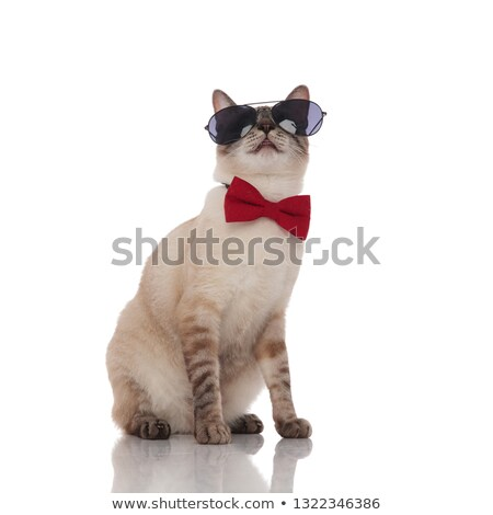 adorable grey cat wearing bowtie and sunglasses looks up Stock photo © feedough