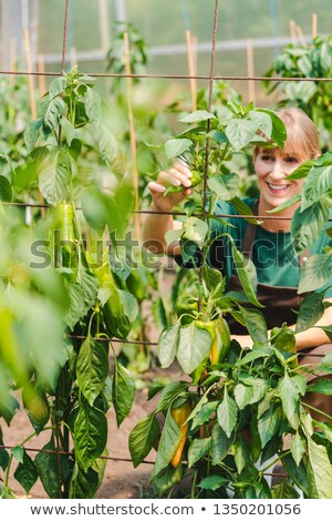Nő kertész kereskedelmi üvegház növekvő paprika Stock fotó © Kzenon