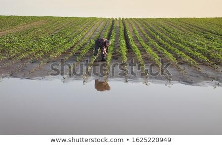 Agricultural scene, farmer in sunflower  field after flood Stock photo © simazoran