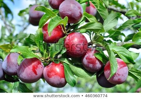 Natuurlijke vruchten rijp pruimen boom boerderij Stockfoto © masay256