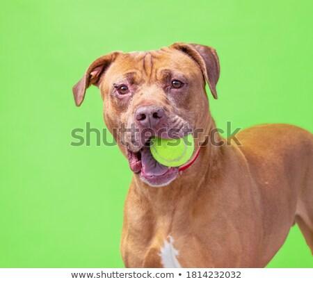 Stúdiófelvétel imádnivaló vegyes fajta kutya labda Stock fotó © vauvau