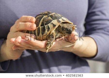 Nő tart díszállat teknős kezek közelkép Stock fotó © olira