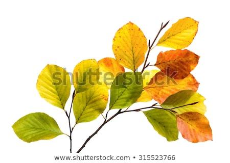 yellow beech leaves stock photo © arrxxx