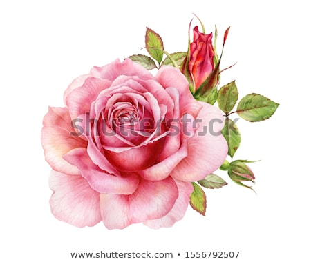 Watercolor Rose Stock Photo C G P Galyna 1651554 Stockfresh