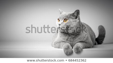 Gatto grigio bianco occhi capelli animale pussy Foto d'archivio © vlad_star