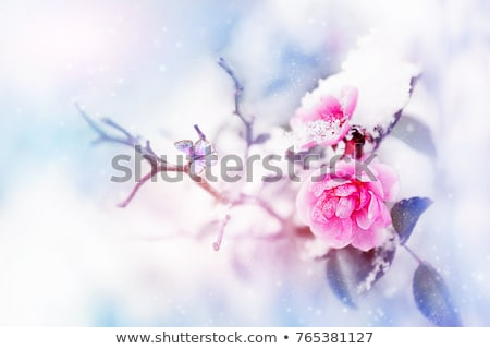 Flower in Snow Stock photo © Melpomene