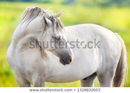 Gray horse stock photo © SKVORTSOVA
