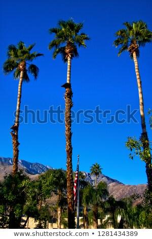 вентилятор · ладонями · деревья · американский · флаг · Palm · Калифорния - Сток-фото © billperry