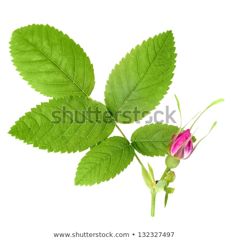 Branch of dog rose with leaf and flower Stock photo © boroda