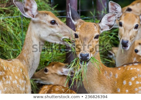 Doe eating plants Stock photo © vwalakte