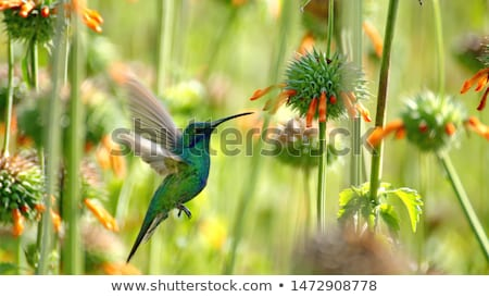 sparkling violetear hummingbird pollinating orange flower stock photo © rhamm