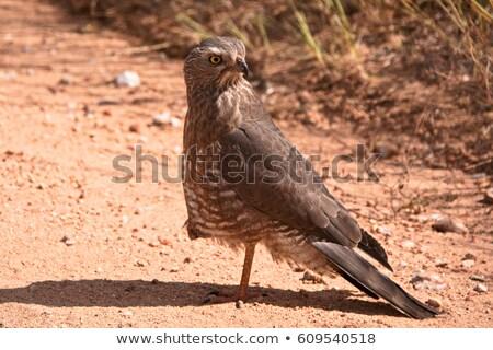 Juvenilis sötét park Namíbia narancs madár Stock fotó © dirkr