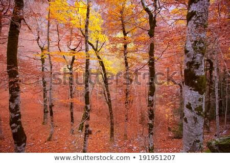Autumn forest in Pyrenees Valle de Ordesa Huesca Spain Stock photo © lunamarina