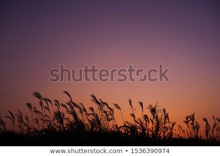 Japonés otono puesta de sol plata hierba silueta Foto stock © shihina