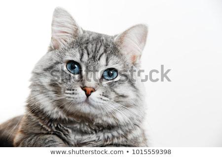 kék · macska · kilátás · szemek - stock fotó © kimmit