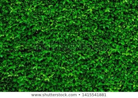 green hedge Stock photo © meinzahn