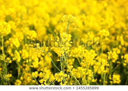 Oilseed rape in spring Stock photo © jarin13