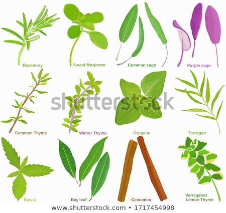 Lila zsálya gyógynövény növény edény levél Stock fotó © marilyna