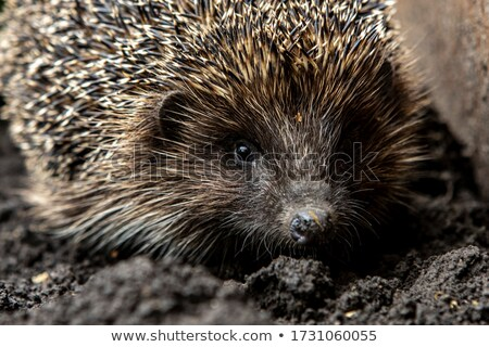 Close up of porcupine spines Stock photo © gigra