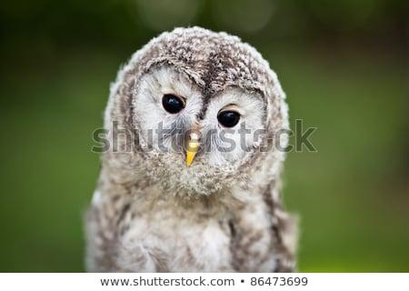 Close up of a baby Tawny Owl Stock photo © lightpoet