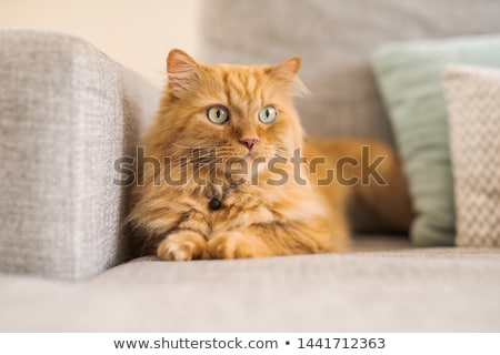 Beautiful long haired ginger cat Stock photo © chrisga
