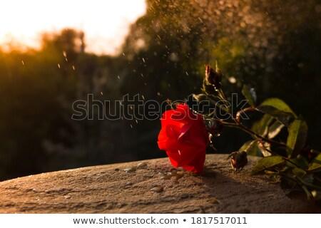 Piros rózsa virág drámai romantikus naplemente égbolt Stock fotó © ankarb