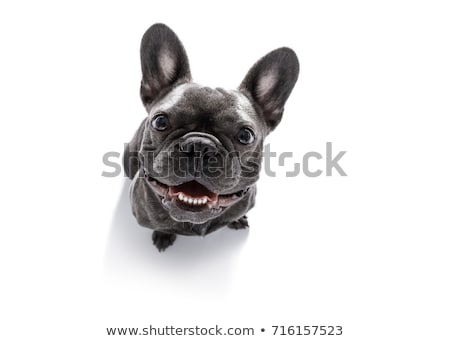 head of a french bulldog puppy dog looking up stock photo © feedough