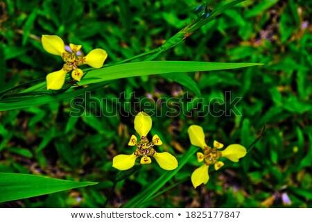 Amarillo iris abeja escalada grande Foto stock © paulfleet